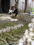 bundling garlic